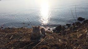Красивый striped кот сидя на скалистом пляже сток-видео