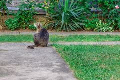 Красивый striped кот царапает в дворе Стоковое фото RF