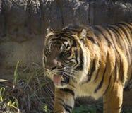 Красивый striped тигр Стоковые Фото