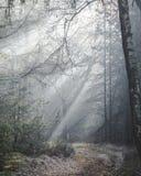 Красивый sunlit след леса на туманном утре с лучами солнца освещая вверх по полу леса стоковые фото