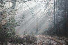 Красивый sunlit след леса на туманном утре с лучами солнца освещая вверх по полу леса стоковые фотографии rf