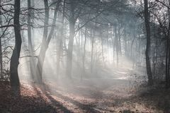 Красивый sunlit след леса на туманном утре с лучами солнца освещая вверх по полу леса стоковое фото rf