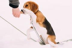 Красивый Tricolor щенок английского бигля принимая лапку к предпринимателю, Стоковая Фотография