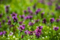 Красивый wildflower mauve поля Стоковое Изображение RF