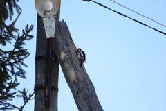 Красивый woodpecker птицы леса на светлом столбце Стоковая Фотография