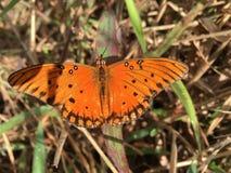 Красивым бабочка покрашенная апельсином Стоковое Фото