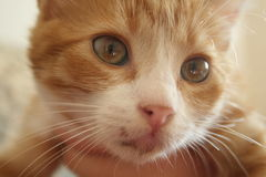 Красивым кот наблюданный желтым цветом Стоковые Изображения