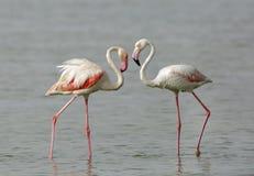 Красивым фламинго оперенные пинком большие Стоковые Фотографии RF