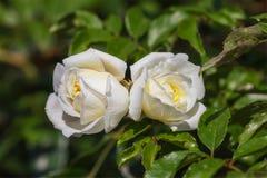 2 красивых белых цветка розы желтого цвета Стоковое фото RF
