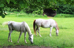 2 красивых белых аравийских лошади на paddock Стоковые Фото