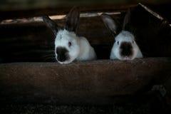 2 красивых белых кролика Стоковое Изображение