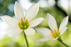 2 красивых белых цветка на зеленой предпосылке Стоковые Фото