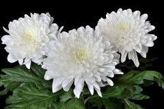 3 красивых белых цветка хризантемы Стоковое Изображение RF