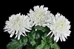 3 красивых белых цветка хризантемы Стоковая Фотография