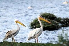 2 красивых больших белых пеликана Стоковые Изображения