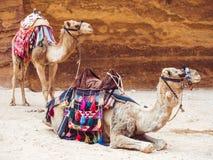 2 красивых верблюда на предпосылке утеса стоковое фото rf