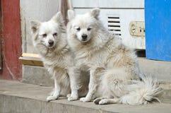 2 красивых волосатых собаки на улице Катманду, Непале Стоковое фото RF