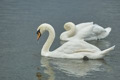 2 красивых грациозно белых одичалых лебедя на озере пруда Лебеди пруда парка города Tsaritsino Грациозно пары лебедей Одичалые бе Стоковое фото RF