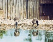 2 красивых гусыни с отражением в воде Стоковое Фото