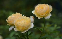 3 красивых желтых розы в саде Стоковые Фото