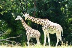 2 красивых жирафа живя в одичалом Стоковое Фото