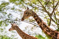 2 красивых жирафа показывая свою длинную шею Стоковое Фото