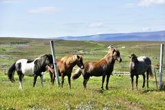 4 красивых исландских лошади на выгоне около Husavik стоковые фото