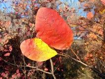 2 красивых листь осени Стоковое Изображение RF