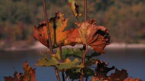 2 красивых коричневых листь осени над рекой в Kaniv, Украине Стоковые Фото