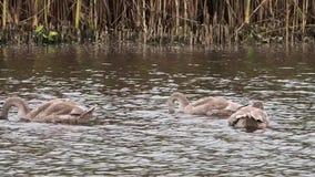 2 красивых лебедя плавают видеоматериал