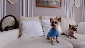 2 красивых маленьких собаки одетой в крутых одеждах Они сидят на кресле и взгляде к камере сток-видео