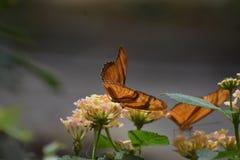 2 красивых оранжевых бабочки рябчика залива в природе Стоковая Фотография RF