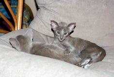 2 красивых очаровательных фиолетовых восточных котят Стоковые Изображения RF