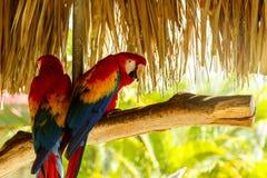 2 красивых попугая ары Стоковая Фотография RF