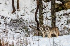 2 красивых серых волка, волчанка волка, в лесе зимы с снегом Стоковые Изображения RF