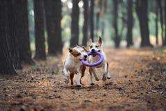2 красивых собаки играют совместно и носят игрушку к предпринимателю Aport выполнило американскими терьерами стоковые изображения rf