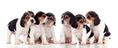 6 красивых щенят бигля Стоковое Изображение RF