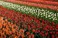 красит различные тюльпаны серии Стоковые Фотографии RF