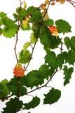 красит creeper virginia Стоковое Изображение