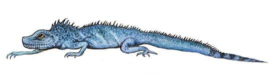 Краска чертежа - голубая ящерица вползает на белой предпосылке Стоковая Фотография RF