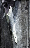 Краска шелушения на выдержанной древесине Стоковая Фотография RF