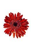 Красная акварель головы цветка георгина Стоковое Фото
