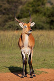 Красная антилопа Lechwe Стоковое Изображение RF