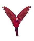 Красная ара летания изолированная на белизне Стоковые Фото