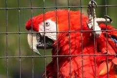 Красная ара на зоопарке Дакоты Стоковые Изображения