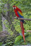 Красная ара, попугай представляя на ветви Стоковое Изображение