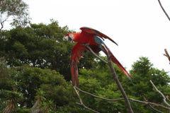 Красная ара принимая полет Стоковые Фотографии RF