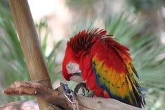 Красная ара прихорашиваясь на ветви дерева Стоковое фото RF