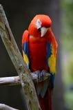 Красная ара садить на насест на ветви стоковые изображения