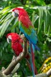 Красная ара Стоковые Фото